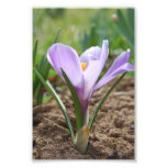 Pink Purple Crocus Vernus Flower Photo