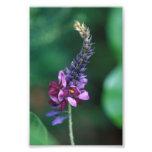 Pink Purple Flower on Flowering Kudzu Photo Art