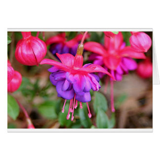 Pink & purple Fuchsia flowers in bloom Card