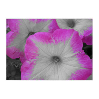 Pink Rimmed black and white petunias Acrylic Wall Art