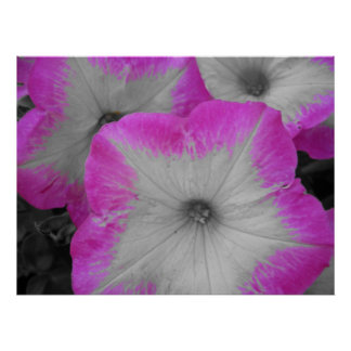 Pink Rimmed black and white petunias Poster