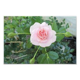 PINK ROSE 8 PHOTOGRAPH