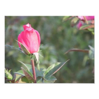 Pink Rose Bud Photo Print