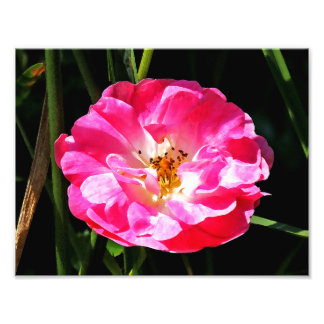 Pink Rose Close Up Photographic Print