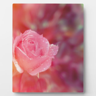 Pink rose covered by morning dew plaque