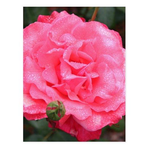 Pink Rose & Dew Postcard