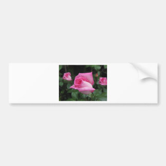 Pink rose flowers with water droplets in spring bumper sticker