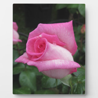 Pink rose flowers with water droplets in spring plaque