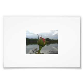 Pink Rose on Dam Photo