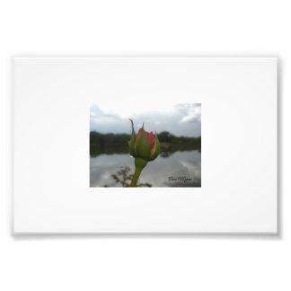Pink Rose on Dam Photo Print