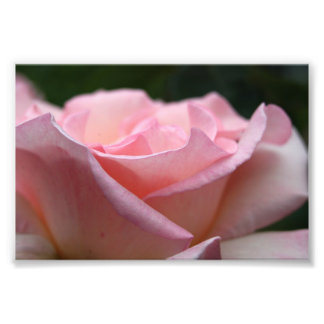 Pink Rose Print Photo Print