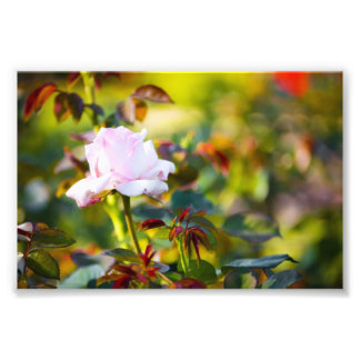 Pink Rose Red Thorn Photo