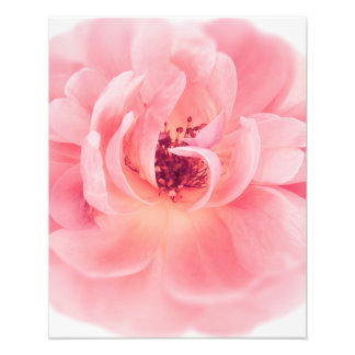 Pink Rose White Roses Flower Flowers Floral Photo Print