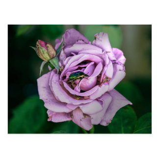 Pink Rose with a Green Beatle Postcard