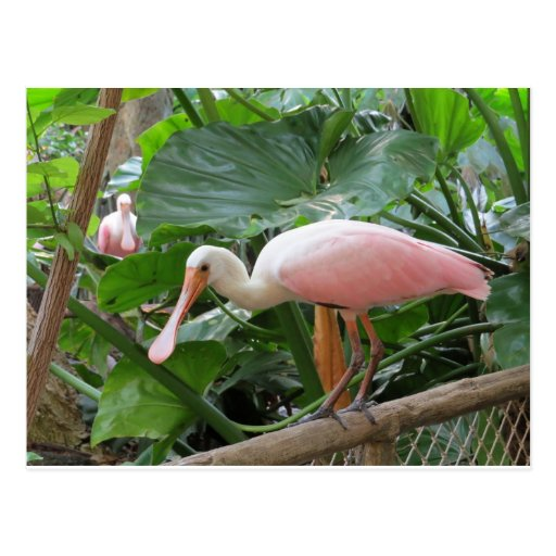 Pink Roseate Spoonbill Bird Postcards