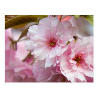 Pink Sakura Flower Postcard