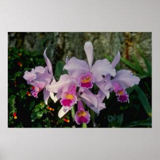 Pink Schruederae (Cattleya) flowers Poster