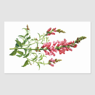 Pink Snapdragon Drawn From Nature