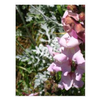Pink Snapdragons Postcard