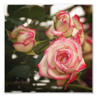 PINK SND WHITE ROSES PHOTOGRAPH