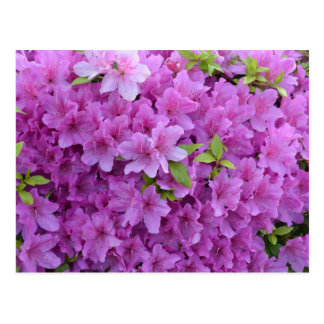 Pink Spring Azaleas Postcard