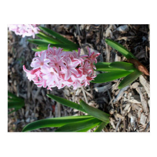 Pink Stars in Bloom post card