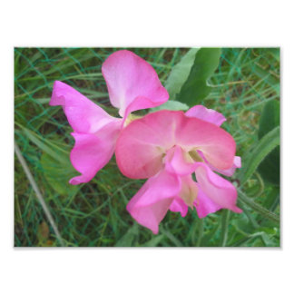 Pink Sweet Pea Photo Print