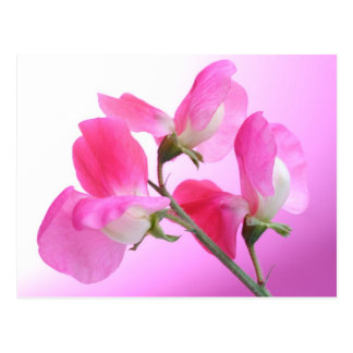 Pink Sweet Pea - Spring Fragrance - postcard