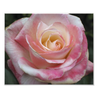 Pink Sweetheart Rose Photographic Print