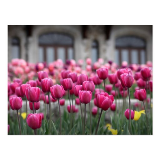 Pink Tulips in Montreal, Canada - Postcard