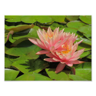 Pink water lily in a pond poster