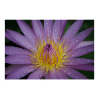 Pink Water Lily Poster