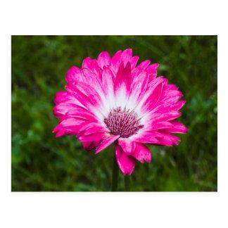 Pink & White Gerbera Daisy in Bloom Postcard