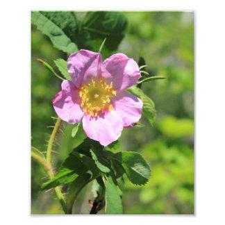 Pink Wild Rose Photo