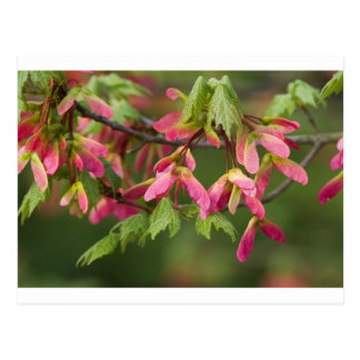 Pink Winged Sycamore Seeds - Acer pseudoplatanus Postcard
