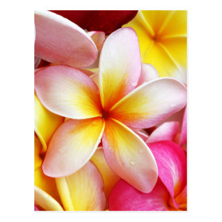 Pink Yellow Purple Plumeria Frangipani Flowers Postcard