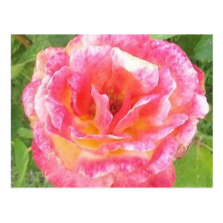 Pink & Yellow Spotted Rose Postcard