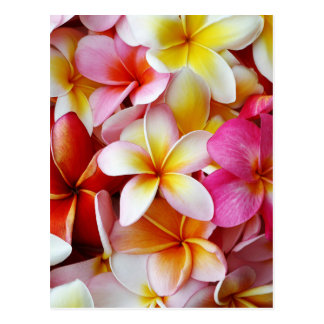 Pink Yellow  White Mixed Plumeria Flower Postcard