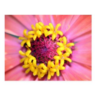 Pink Zinnia Center Postcard