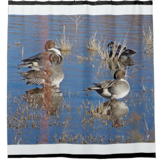 Pintail Duck Birds Wildlife Animal Pond