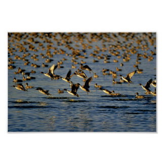 Pintails Poster