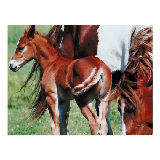 Pinto Mare with Foal Postcard