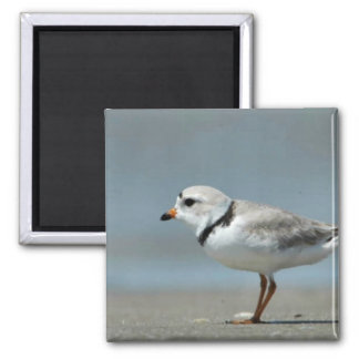 Piping Plover walking on the beach Square Magnet
