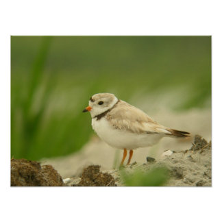 Pipng Plover Poster