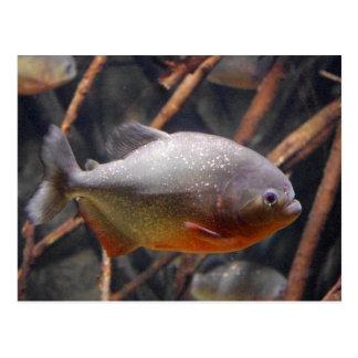 Piranha - Innocent Looking Brown Fish Postcard