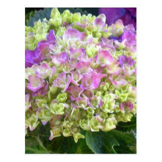 Pistachio Color Hydrangea Postcard