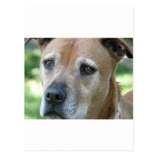 pitbull postcards