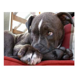Pitbull Pup Postcard