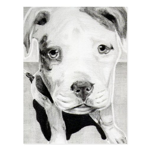 Pitbull Puppy in pencil 2  by Jacob Grimm Post Cards