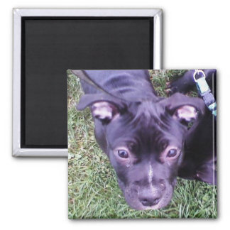 Pitbull Puppy Magnet